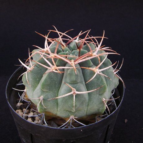 Sany0029-catellanosii v rigidum--Tama LR--mesa seed 460.82