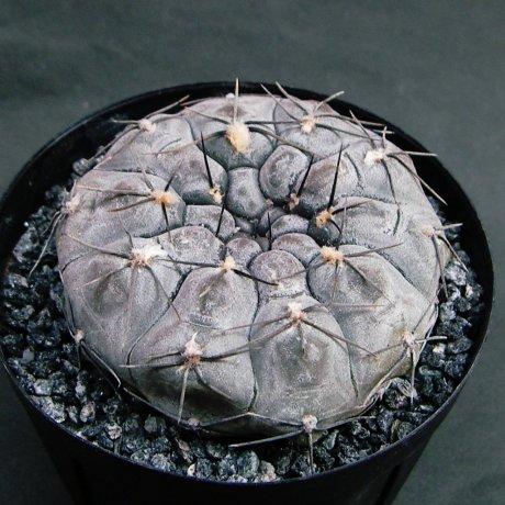 Sany0100--berchtii--VS 161--Koehres seed--ex Kousen en