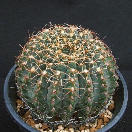 Sany0126--quehlianum v albispinum--P 180--Rio Tercero Cordoba 600m.--Piltz seed 4284