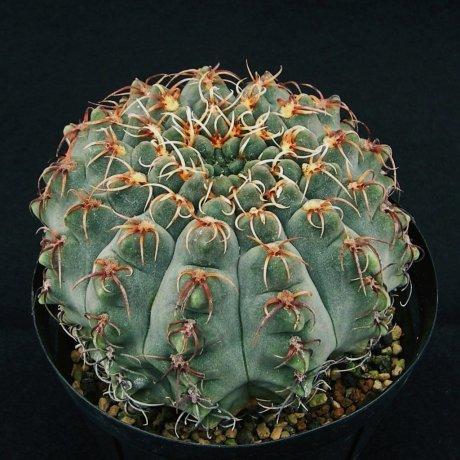 Sany0223--quehlianum v flavisinum--P 180---Piltz seed 4284