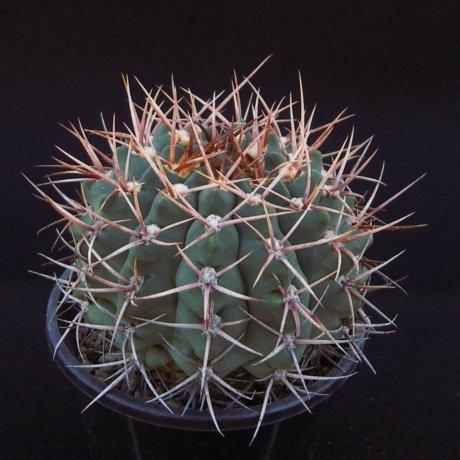 Sany0022--castellanosii v armillatum--VS 15--mesa seed 460.78