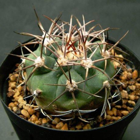 Sany0152--castellanosii v armillatum--VS 15--Mesa seed 460.78