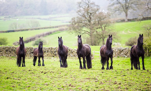 BeautifulBlackHorses.jpg