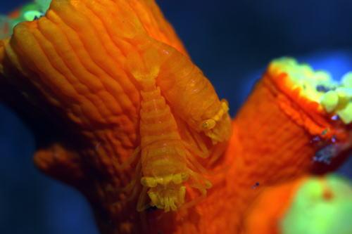 キサンゴカクレエビペアー