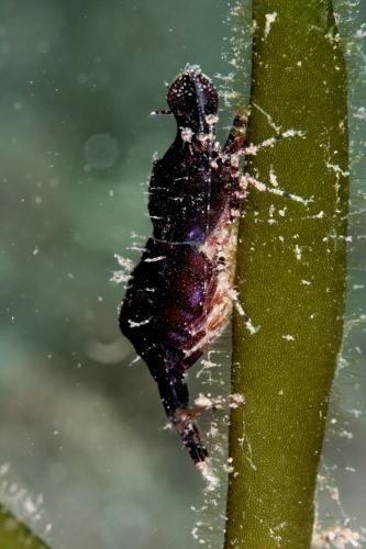 コブタヒラツノモエビ 抱卵中