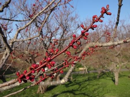 ほとのどの梅の花はこんな蕾です。