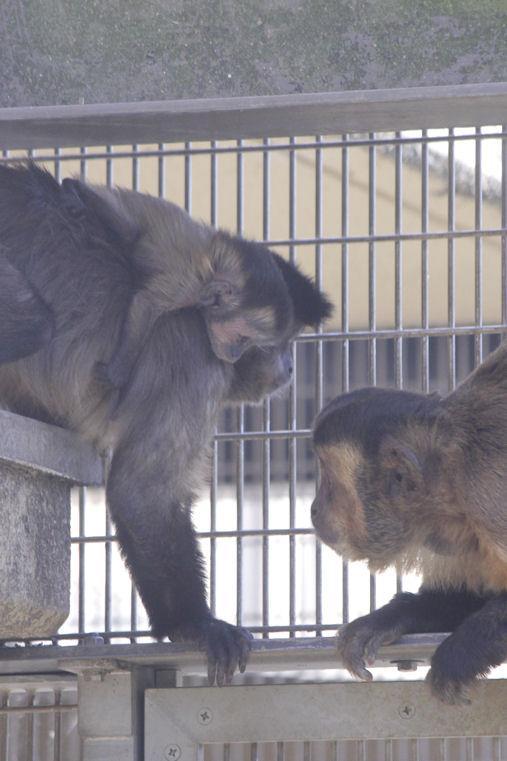'16.5.12 brown capuchin 3845