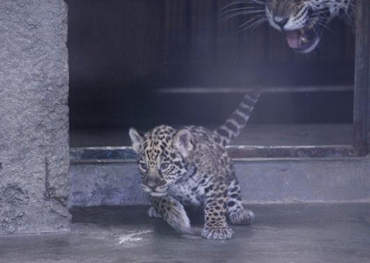 '16.5.31 baby jaguar 5501