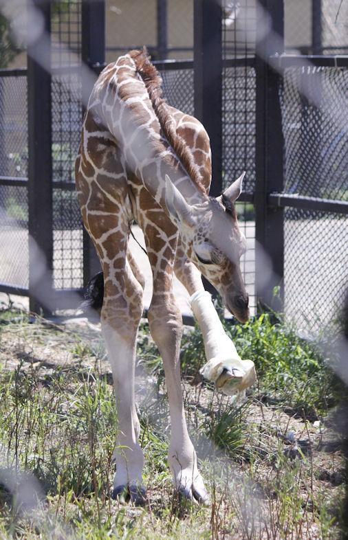 '16.8.31 baby giraffe 3252