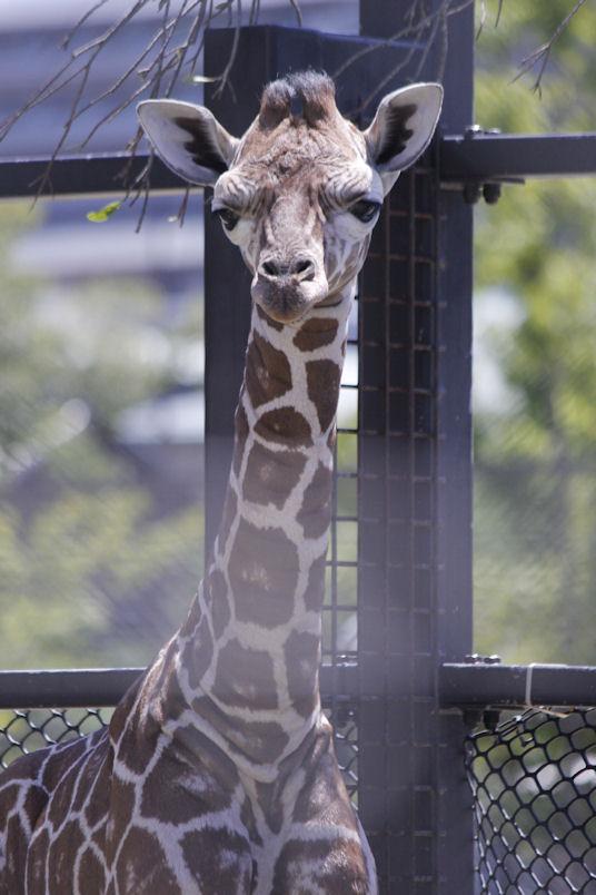 '16.8.31 baby giraffe 3337