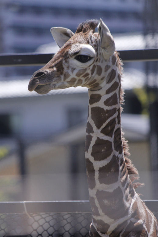 '16.8.31 baby giraffe 3357
