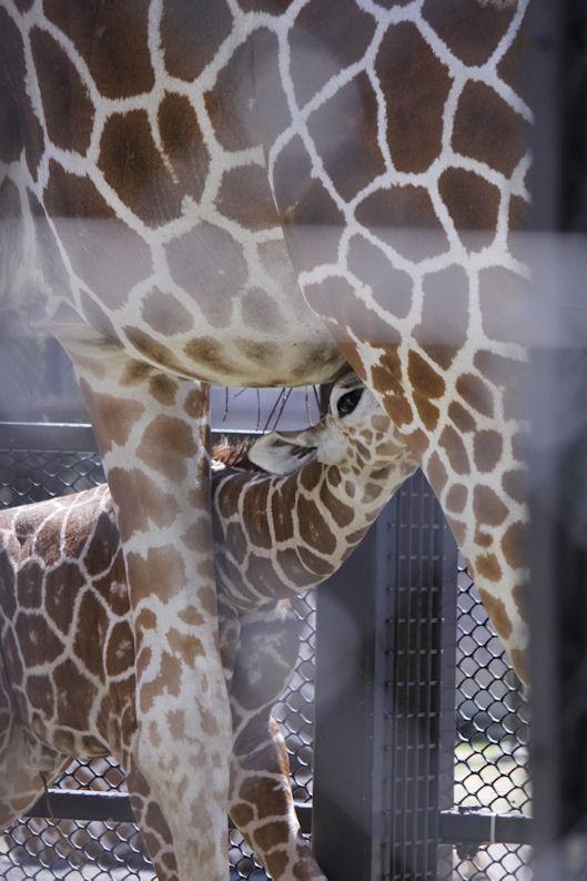 '16.8.31 baby giraffe
