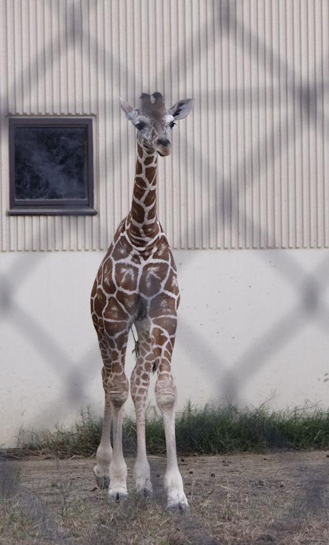 '16.10.8 baby giraffe 9054