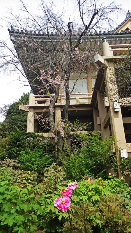 薬王院の牡丹と桜