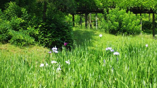 菖蒲が咲き始め