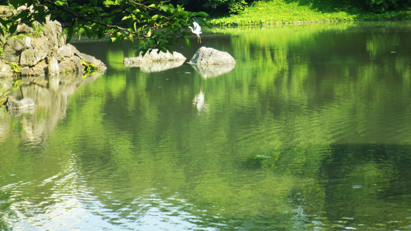 小石川後楽園の池 鷺が飛ぶ