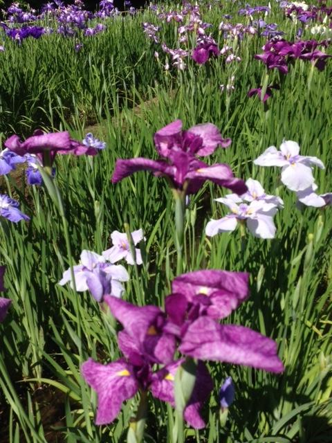 花菖蒲 たくさんの花