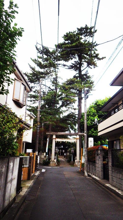 景観重要樹木 中井御霊神社のクロマツ 1