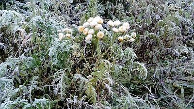 霜のおりた花