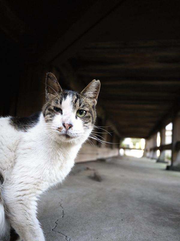 濡れ縁のキジ白猫ラストカット