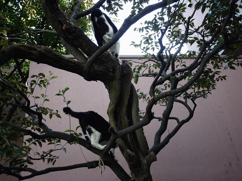 樹木から降りる義理姉猫1