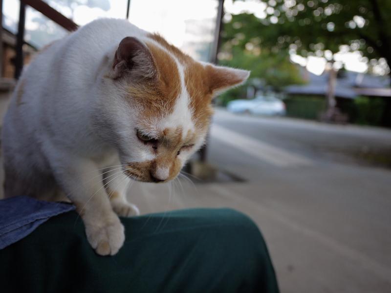階段で膝に乗る茶白猫