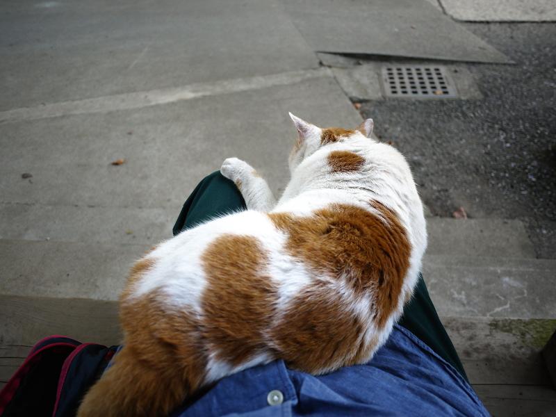 階段で膝に乗った茶白猫