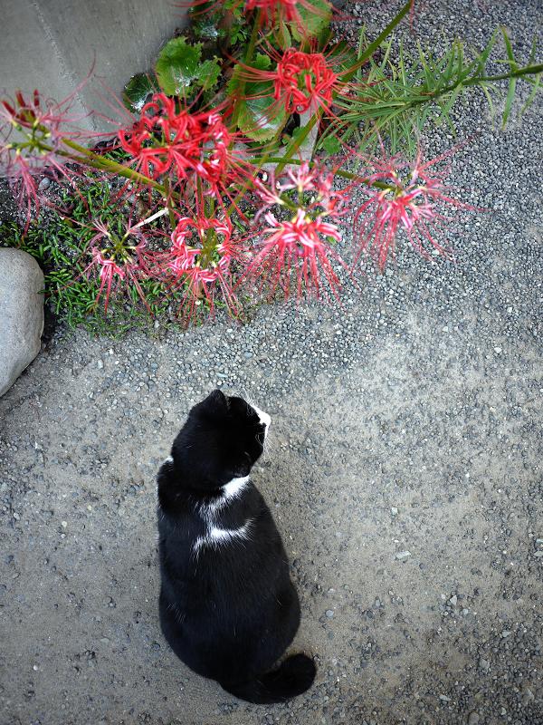 彼岸花と黒白猫