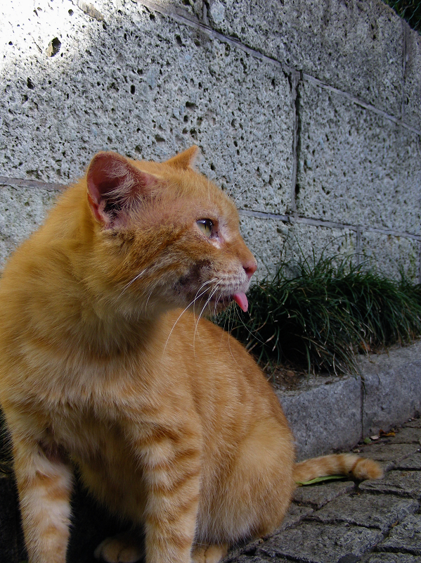 石塀の前でベロを出してる茶トラ猫1