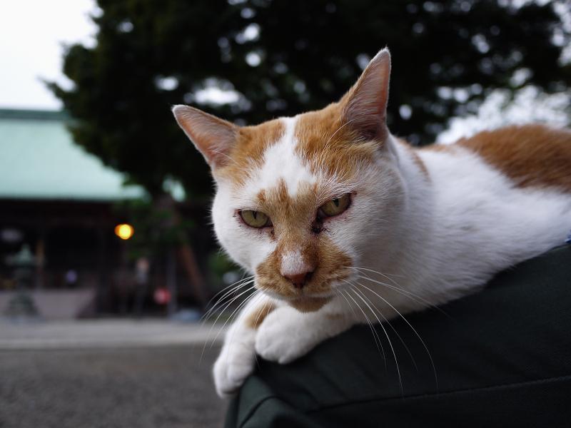 境内で膝に乗った茶トラ猫の視線1
