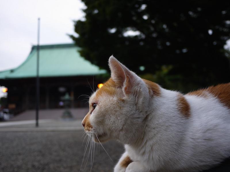 境内で膝に乗った茶トラ猫の視線2