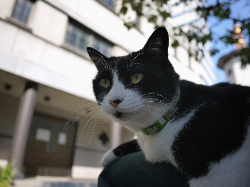 クスノキの下で膝に乗った黒白猫1