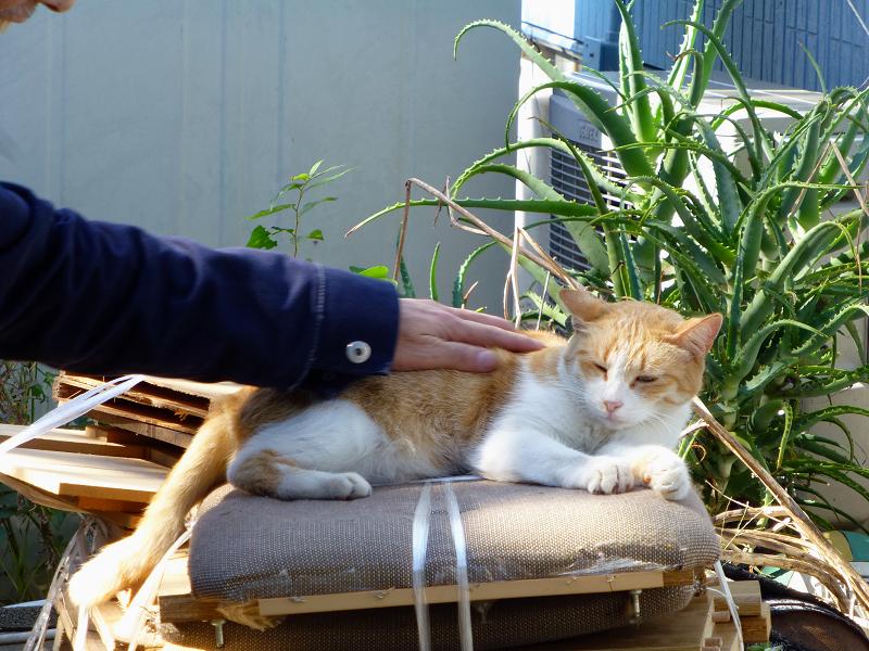 積み上げられた廃材の上の茶白猫3