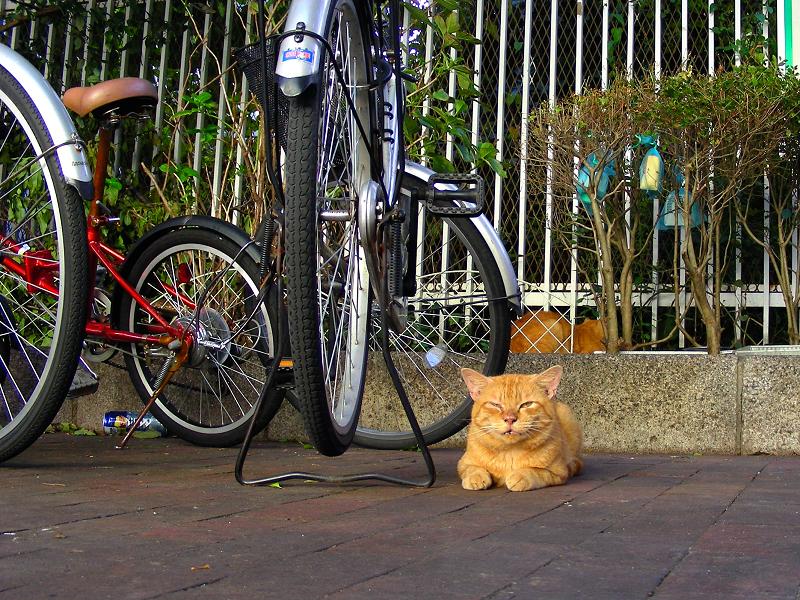 駅前の茶トラ猫1
