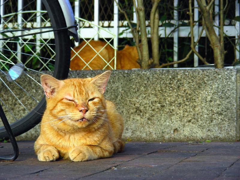 駅前の茶トラ猫2
