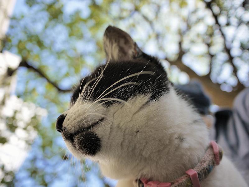 クスノキの下で膝に乗った白黒猫2
