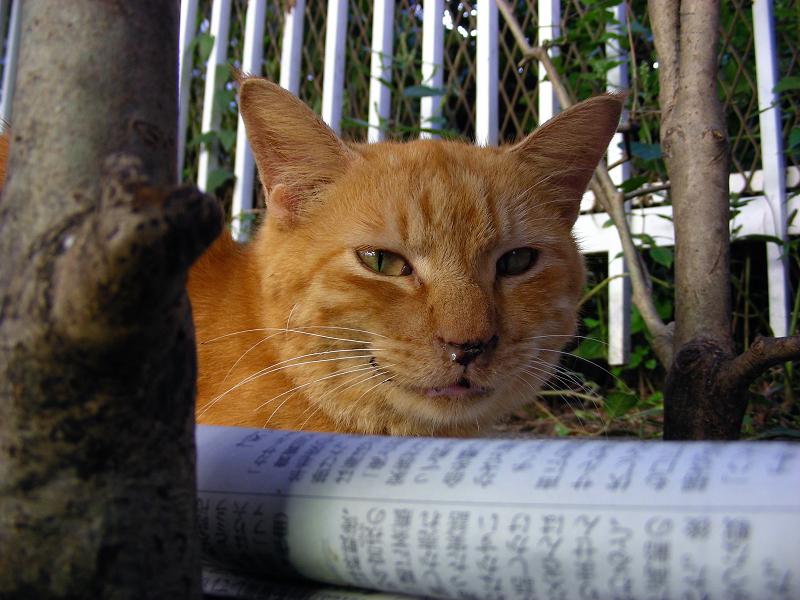 駅前茶トラ猫の鳴き顔笑顔2