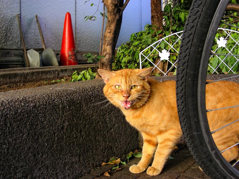 駅前茶トラ猫の鳴き顔笑顔3