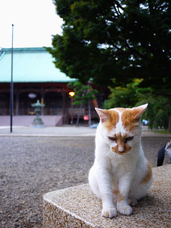 境内の石ベンチと茶白猫1