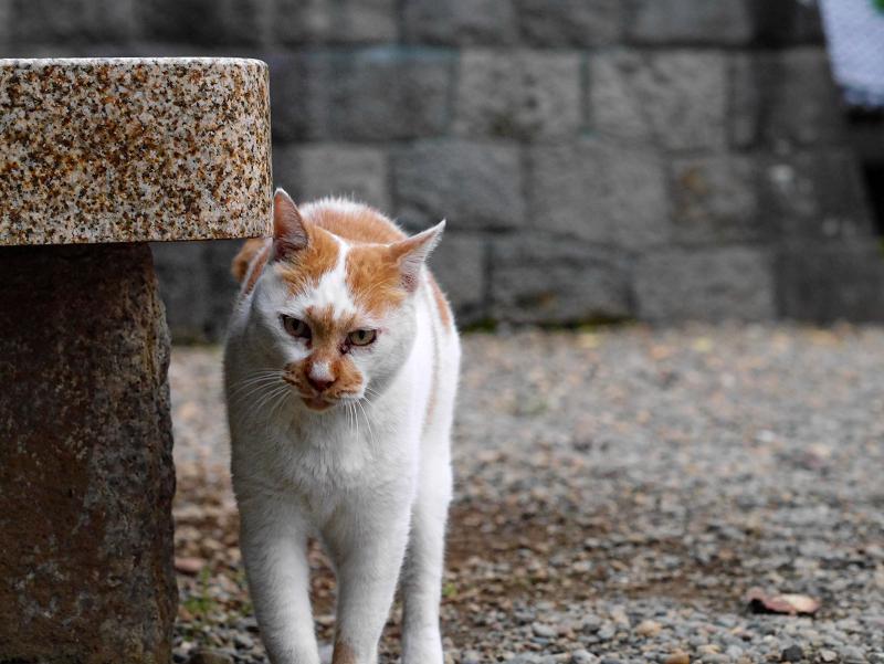境内の石ベンチと茶白猫2