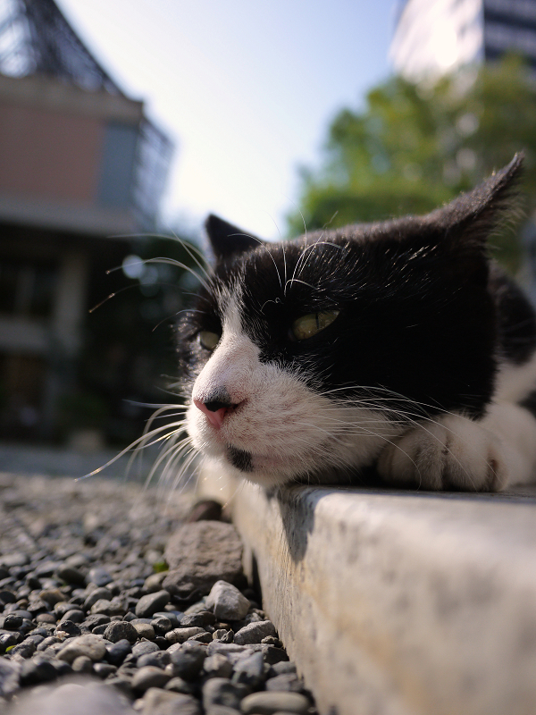 境内で寝そべってる黒白猫2