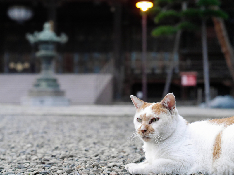 境内の玉砂利で佇んでる茶白猫1
