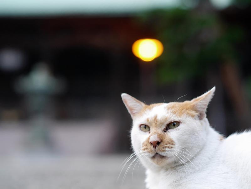 境内の玉砂利で佇んでる茶白猫2