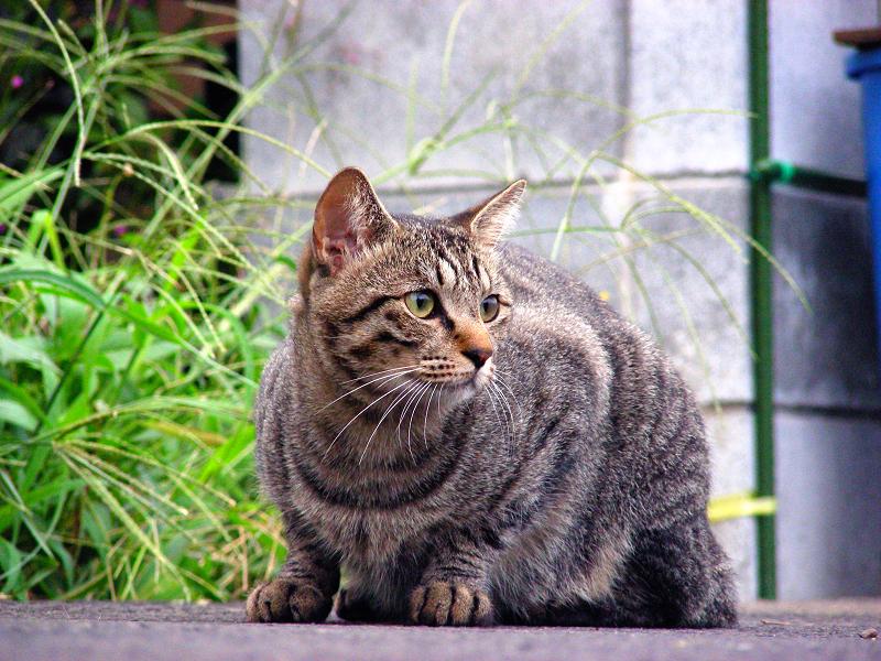 路地裏で佇むキジトラ猫1