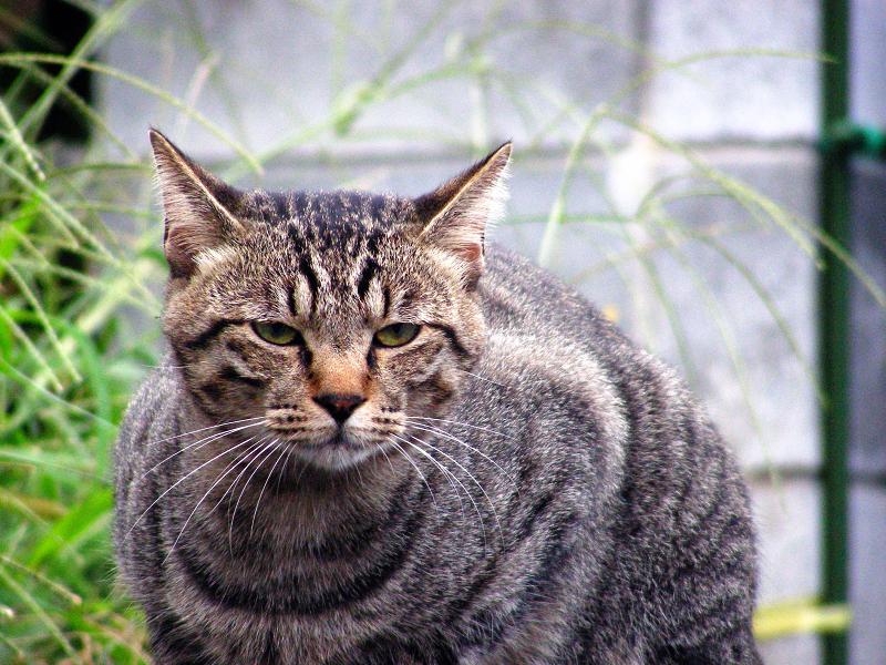 路地裏で佇むキジトラ猫2