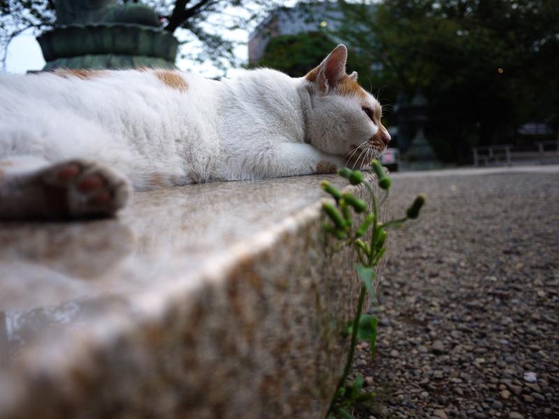 境内の石ベンチでノンビリしている茶白猫1