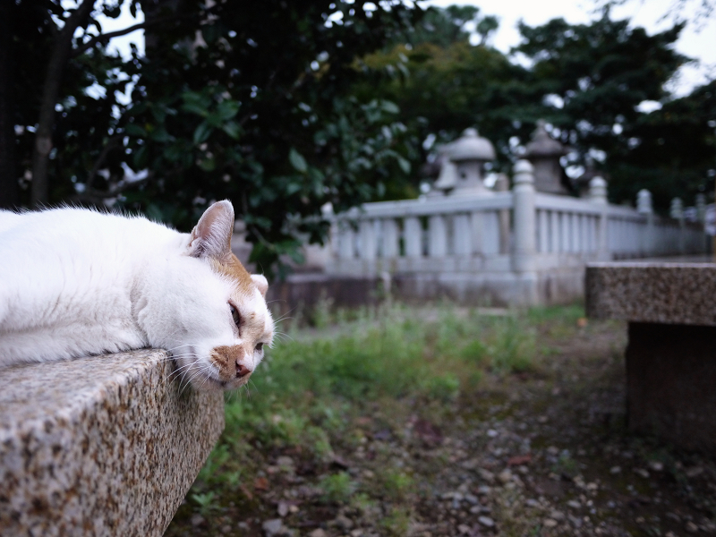 境内の石ベンチでノンビリしている茶白猫2