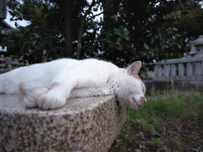 境内の石ベンチでノンビリしている茶白猫3