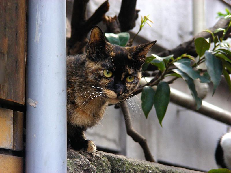 民家の塀にいたサビ柄猫2