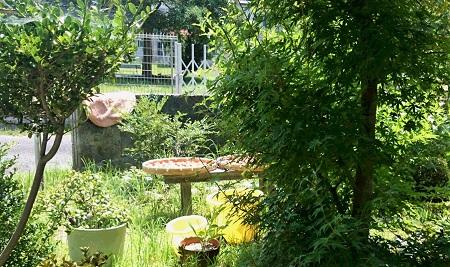 庭で梅 干す